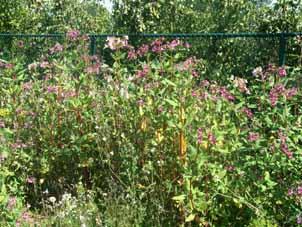 zeldzaam paars bloemetje vijf blaadjes